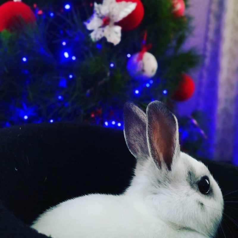 Chocolate the Magic Bunny looking at a Christmas Tree of